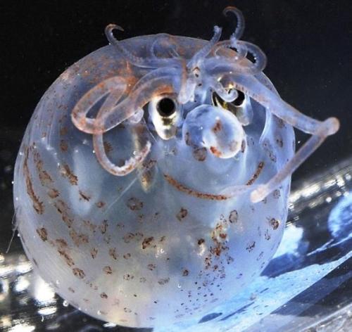 piglet-squid