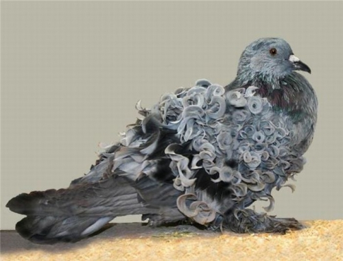 pigeon-perm