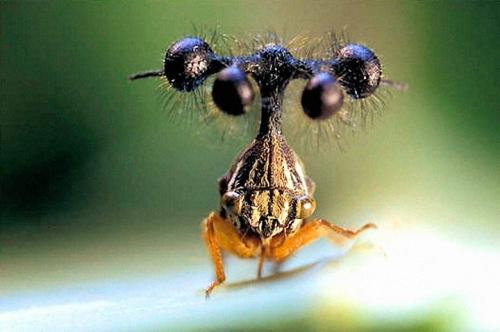 brazilian-treehopper