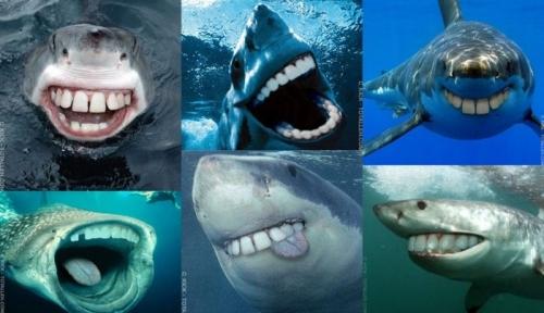 sharks-teef