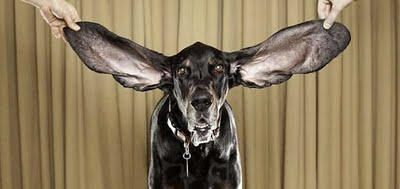dog-with-longest-ears