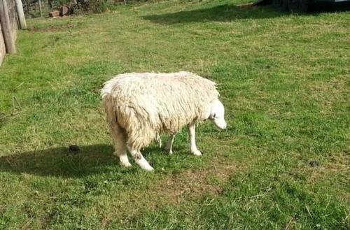 sheep-upside-face