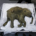 Lyuba the 42,000 year old baby mammoth – photos