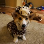 Corgnelius is the world's cutest corgi