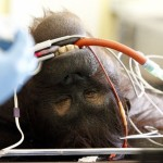 Vicky The 29-Year-Old Orangutan Undergoes A Sinus Operation In Chester (Photos)