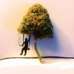 Fun With My Marijuana Bonsai Tree (Photos)