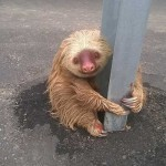 Cute warning: police help sloth cross the road