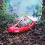 Azuki the little hedgehog goes camping