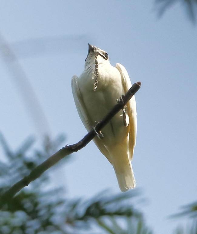 Listen to the site bellbird - the loudest bird in the world
